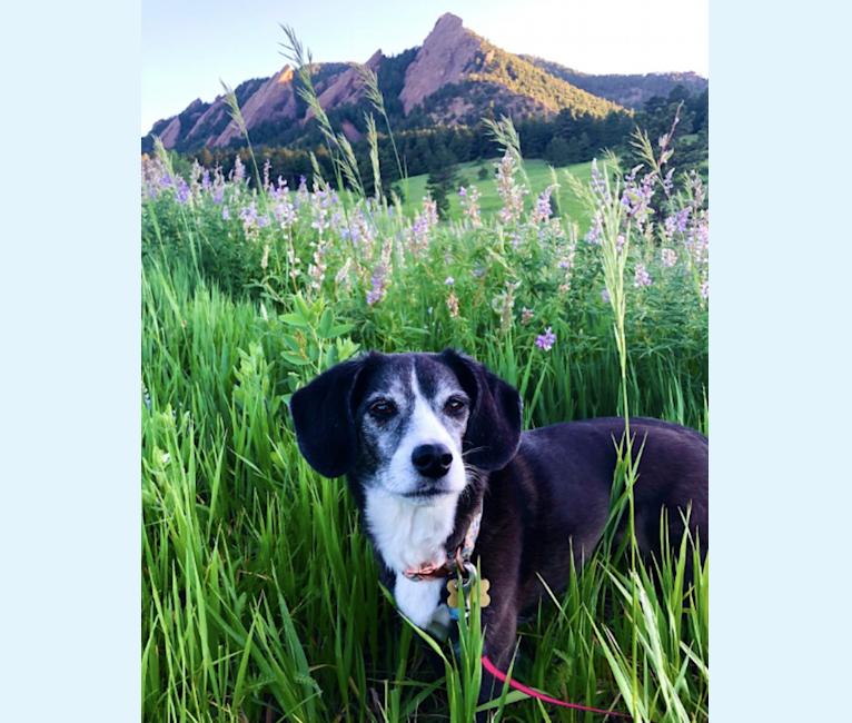 Photo of Alice, a Beagle, Cocker Spaniel, Shetland Sheepdog, and Mixed mix in Dallas, Texas, USA