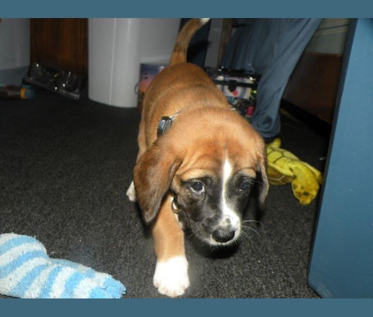 Photo of Jeter, a Bulldog, Beagle, Golden Retriever, and Cocker Spaniel mix in Ohio, USA