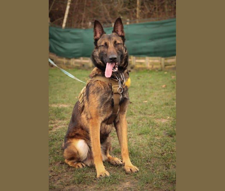 Photo of JACK, a Belgian Shepherd  in Serbien