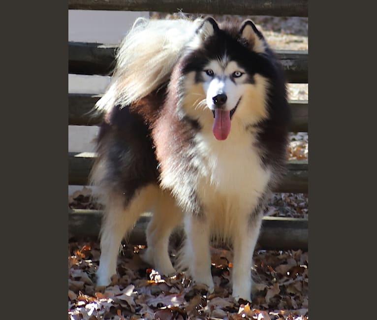 Photo of Padfoot, a Siberian Husky