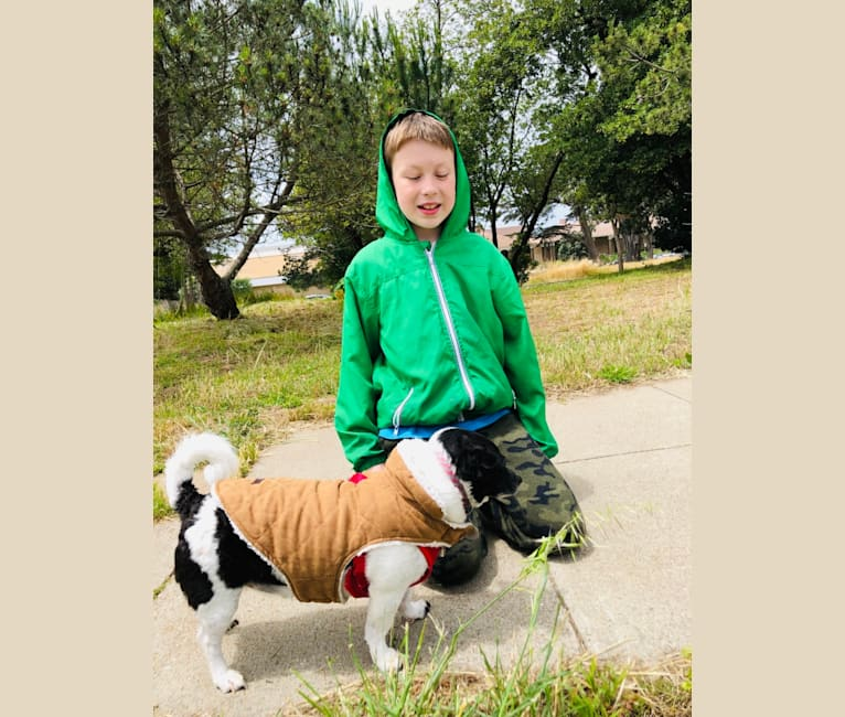 Photo of Angelo, a Chihuahua, Poodle (Small), Russell-type Terrier, Pekingese, and Mixed mix