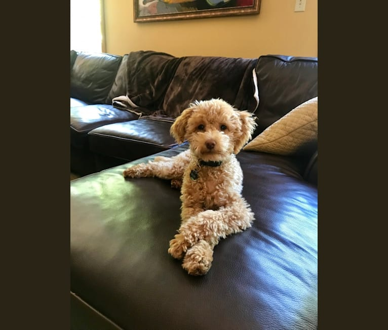Photo of Andy, a Poodle (Small) and Chihuahua mix in Pittsburgh, PA, USA