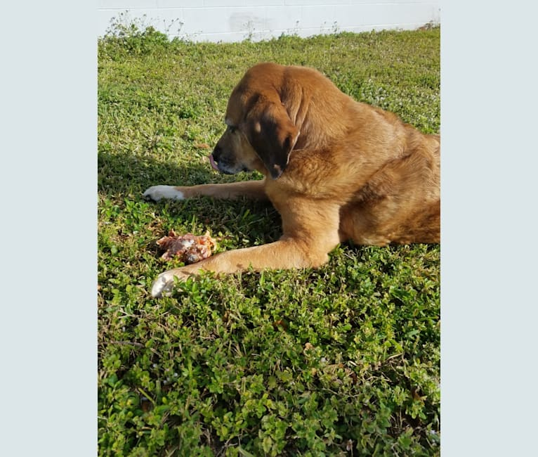 Photo of Tracker, a Bloodhound, Great Pyrenees, Treeing Walker Coonhound, and Black and Tan Coonhound mix in Lehigh Acres, Florida, USA