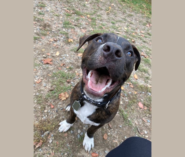 Photo of Yoshi, an American Bully and American Pit Bull Terrier mix in Texas, USA