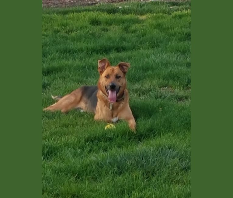 Photo of Sarge, a German Shepherd Dog and Rottweiler mix in Stockton, California, USA