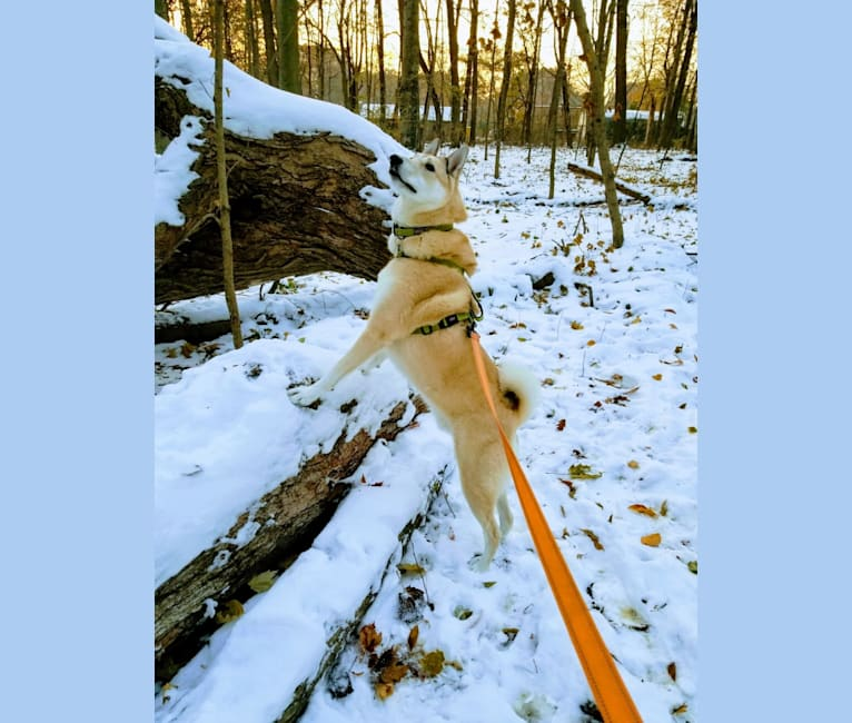 Photo of Wyle, a West Siberian Laika  in Kentucky, USA