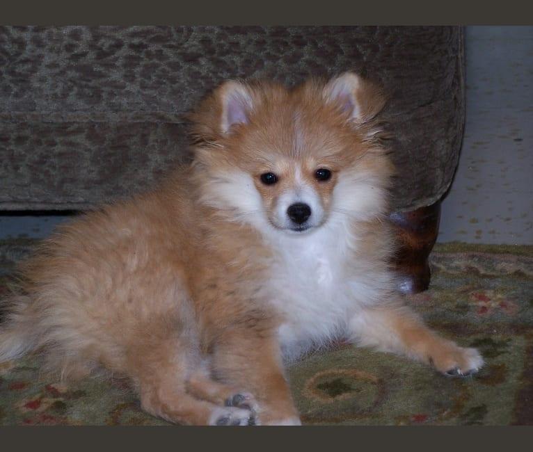 Photo of Tango Benningfield, a Pomeranian