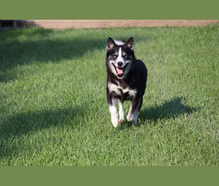 Photo of KODA, a Siberian Husky, Pomeranian, and American Eskimo Dog mix in Celina, OH, USA