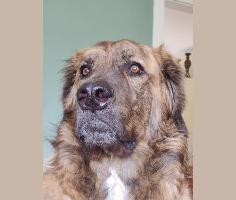 Photo of Calvin, a Maremma Sheepdog, Saint Bernard, and Boxer mix