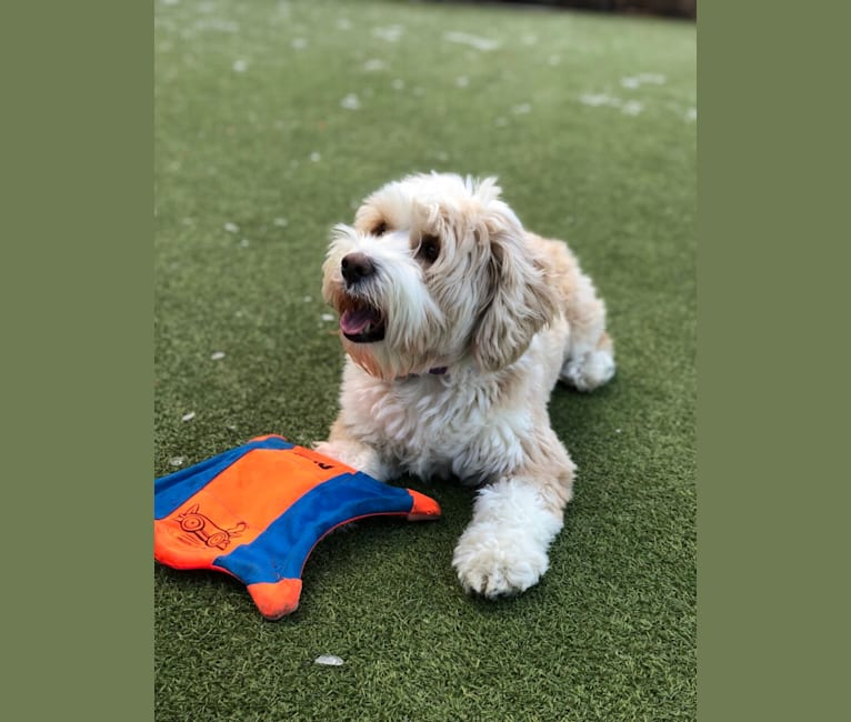 Photo of Laia, a Tibetan Terrier  in New York State, USA