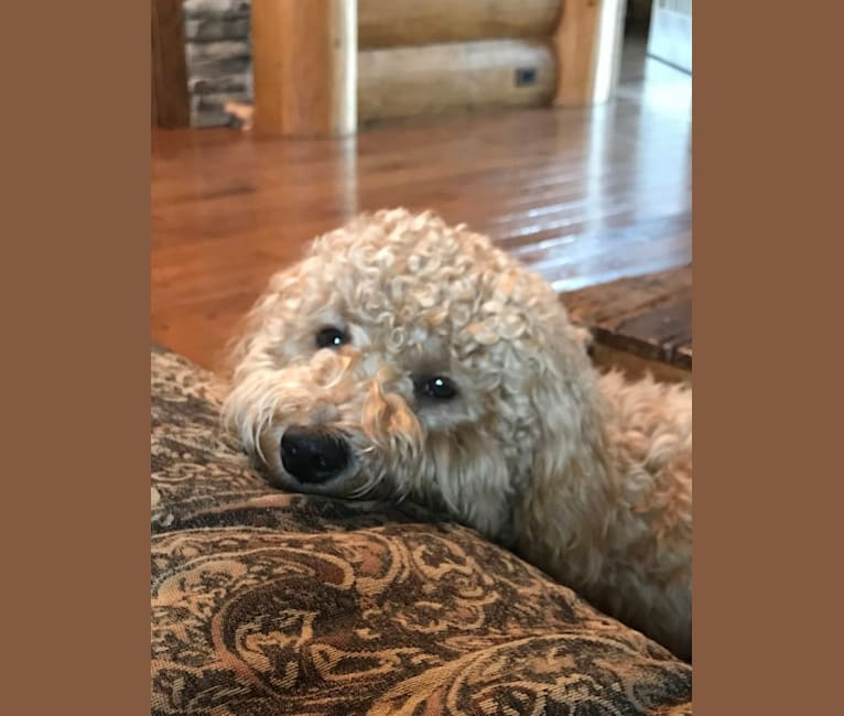 Photo of Charly, a Goldendoodle  in Maryland, USA