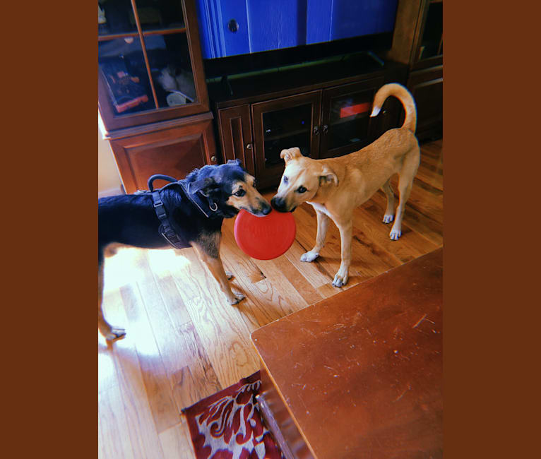 Photo of Lou, a Great Pyrenees, American Pit Bull Terrier, and Siberian Husky mix in Jersey City, New Jersey, USA