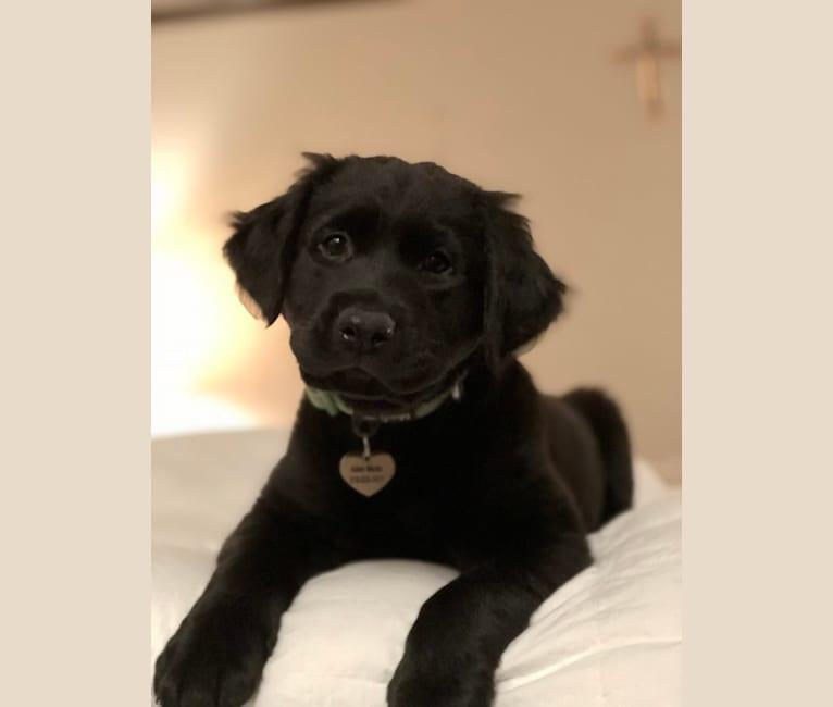Photo of Hazel, a Labrador Retriever and Boxer mix in Independence, Missouri, USA
