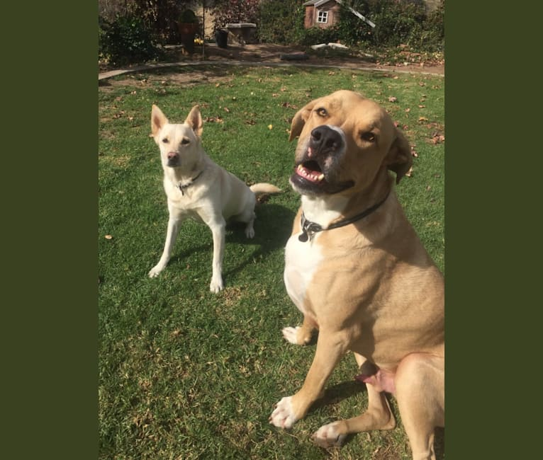 Photo of Roscoe, an American Pit Bull Terrier, German Shepherd Dog, and American Bulldog mix in La Habra Heights, California, USA