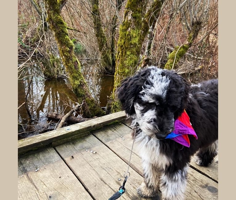 Photo of Felicity, a Poodle (Standard), Australian Shepherd, and Bernese Mountain Dog mix in Beach City, OH, USA