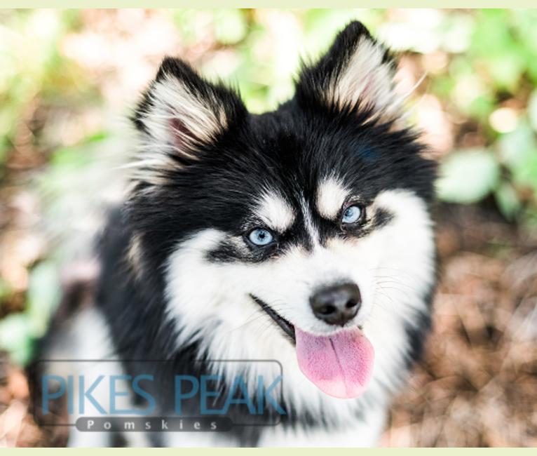 Photo of Rush, a Siberian Husky, Pomeranian, and American Eskimo Dog mix in Crandall, Indiana, USA