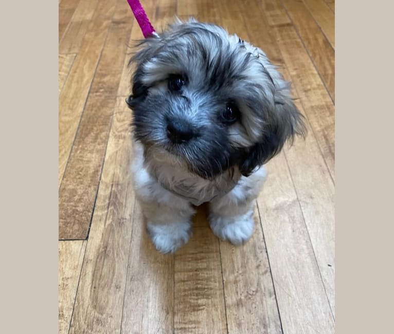 Photo of Kaylee, a Maltese, Shih Tzu, and Dachshund mix in Vaughan, Mississippi, USA