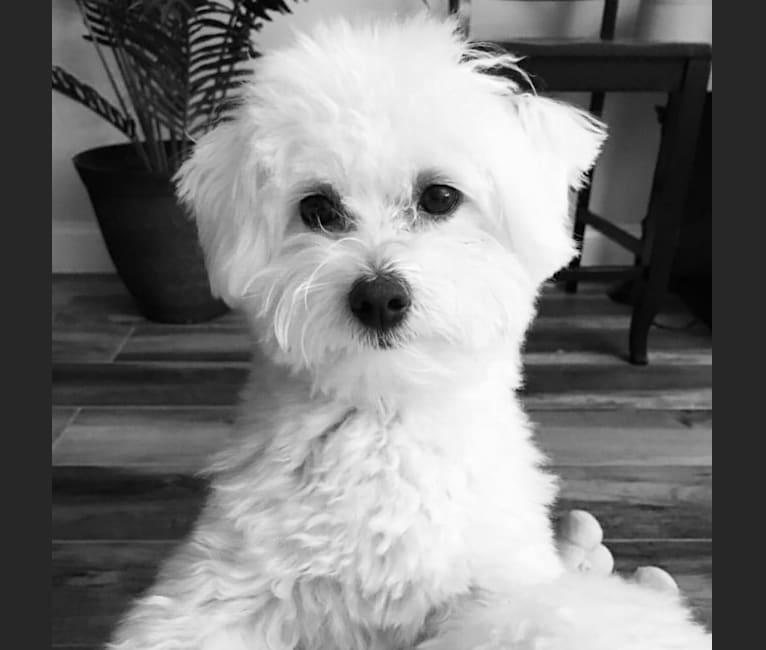 Photo of Henley, a Maltipoo  in Quarryville, PA, USA