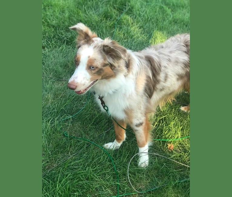 Photo of Harrison, an Australian Shepherd, Border Collie, American Eskimo Dog, and Collie mix in Mechanicsburg, Pennsylvania, USA
