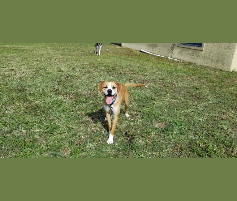Photo of Dakota, an American Pit Bull Terrier, American Staffordshire Terrier, and American Foxhound mix in Tampa, Florida, USA