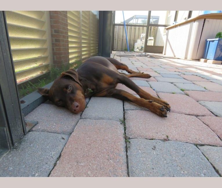 Photo of Benson, a Miniature Pinscher and Chihuahua mix in Bradenton, Florida, USA