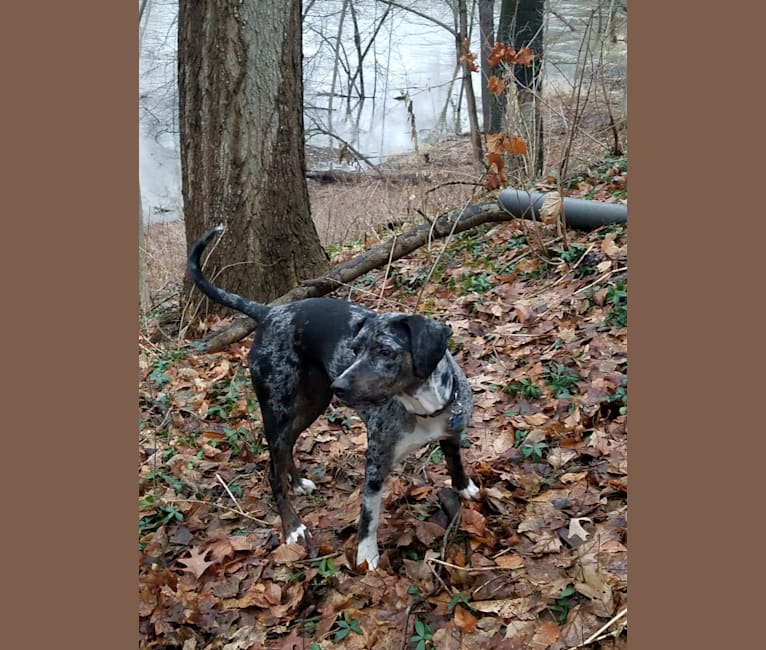 """Photo of Bearhawke's Dixie Bella Blue """"Dixie"""", a Catahoula Leopard Dog  in Angola, IN, USA"""