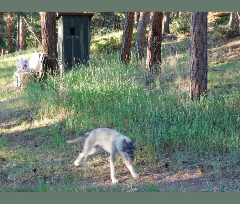 Photo of Stella, a German Shepherd Dog, Alaskan Malamute, and Irish Wolfhound mix in Evergreen, CO, USA
