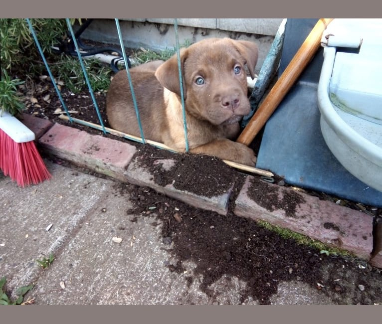 Photo of Charlie, an American Pit Bull Terrier and Mixed mix in Olympia, Washington, USA