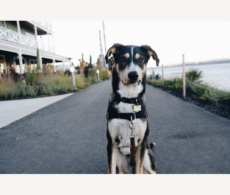 Photo of Coava, a German Shorthaired Pointer, Siberian Husky, and Great Pyrenees mix in California, USA