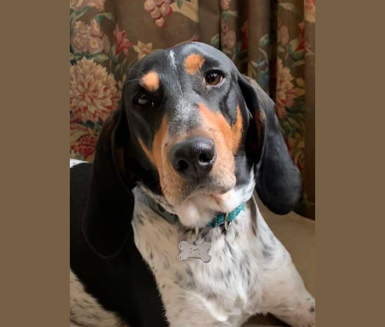 Photo of June, an American English Coonhound  in Longmeadow, Massachusetts, USA