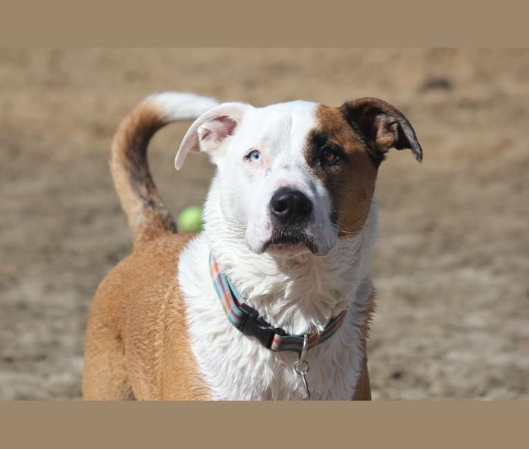 Photo of Angus, an American Pit Bull Terrier, American Bulldog, and German Shorthaired Pointer mix in Oakland, California, USA