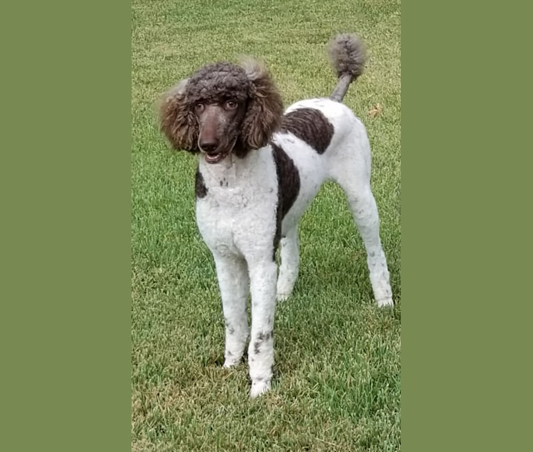 Photo of Mocha, a Poodle (Standard)  in Nixa, Missouri, USA