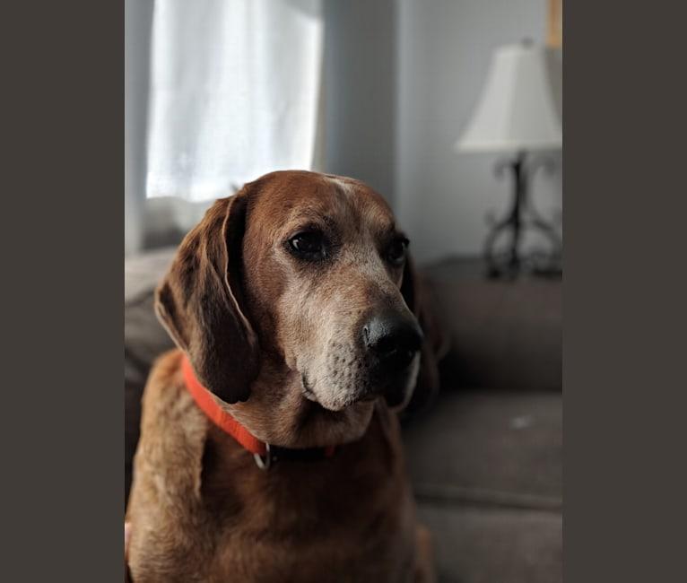 Photo of Raymond, an American English Coonhound