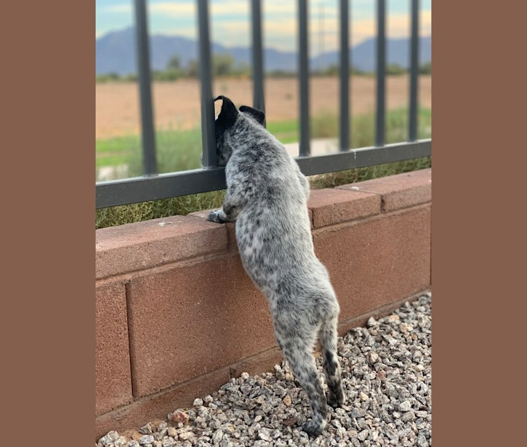 Photo of Willow, an Australian Cattle Dog  in Tucson, AZ, USA