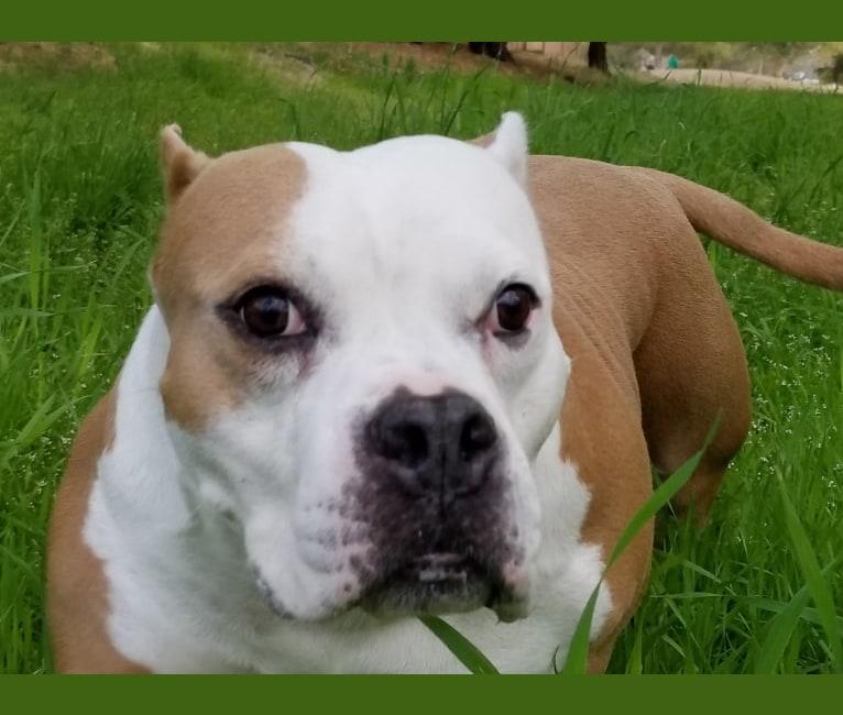 Photo of Fiona, an American Bully  in Mesa, AZ, USA