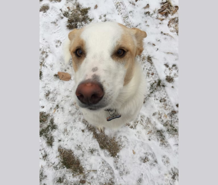 Photo of Lupe, a Great Pyrenees, Australian Cattle Dog, Shetland Sheepdog, and Border Collie mix in Pottsville, Pennsylvania, USA