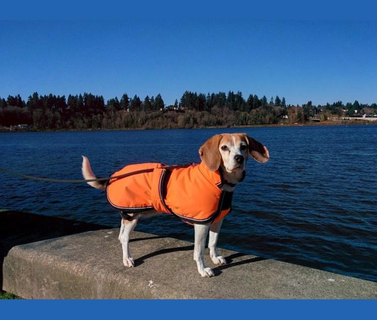 Photo of Roxanne, a Beagle  in Dryad, WA, USA