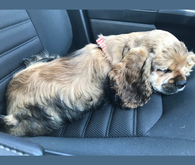 Photo of Zoey's Perpetual Bliss- AKC registered, a Cocker Spaniel  in Rayne, LA, USA