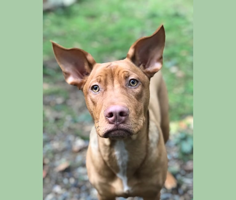 Photo of Bella, an American Pit Bull Terrier, Golden Retriever, German Shepherd Dog, Australian Cattle Dog, and Mixed mix in Belfair, Washington, USA
