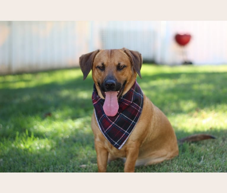 Photo of Cody, a Basset Hound and Australian Cattle Dog mix in Happy Valley, CA, USA