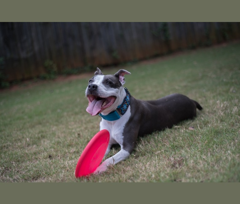 "Photo of ""Piper"" Bullseye's Treble Twenty, an American Pit Bull Terrier and American Staffordshire Terrier mix in Lawrenceville, Georgia, USA"