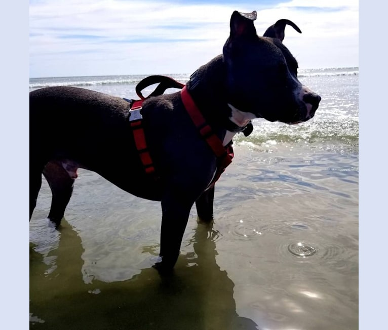 Photo of Asher, an American Bully  in Peabody, Massachusetts, USA