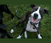 Photo of Maisie, an American Pit Bull Terrier  in Long Beach, NY, USA