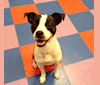 Photo of Katie, a Boston Terrier, Pug, Russell-type Terrier, and Border Collie mix in Philadelphia, Pennsylvania, USA