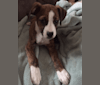 Photo of Pope, a Boxer and Russell-type Terrier mix in Newport, Tennessee, USA
