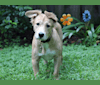 Photo of Toby, an American Pit Bull Terrier, American Staffordshire Terrier, and Labrador Retriever mix in Gainesville, Florida, USA