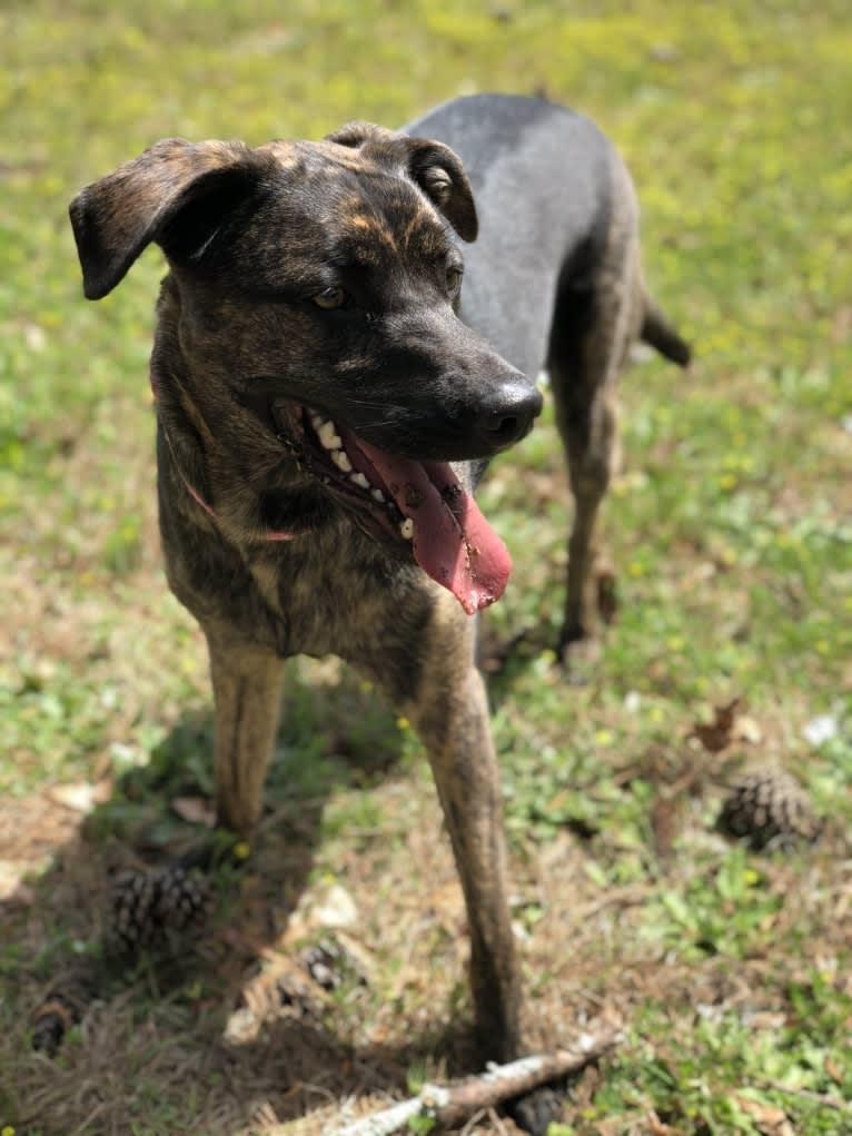Photo of Willow, a Golden Retriever, German Shepherd Dog, Boxer, and American Staffordshire Terrier mix in Atlanta, GA, USA
