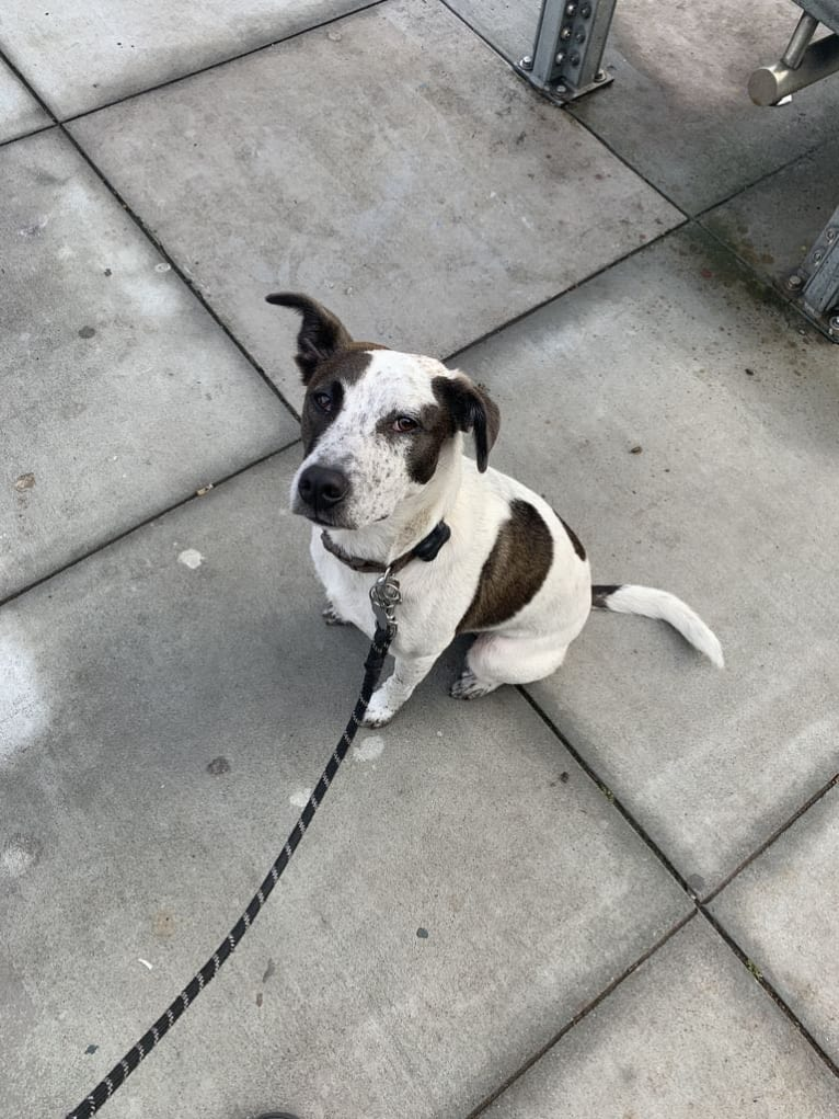 Photo of Kernel, an Australian Cattle Dog, American Pit Bull Terrier, Border Collie, and Mixed mix in Fresno, California, USA