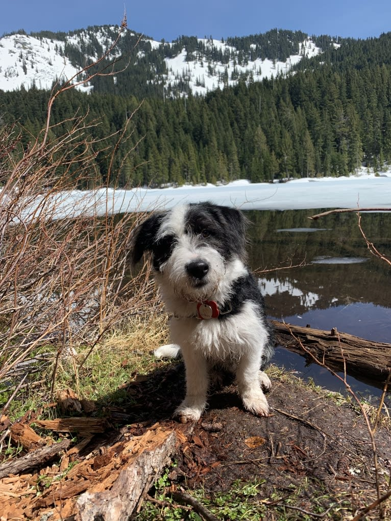 Photo of Shasta, a Poodle (Small), German Shepherd Dog, Golden Retriever, and Mixed mix in Kent, Washington, USA