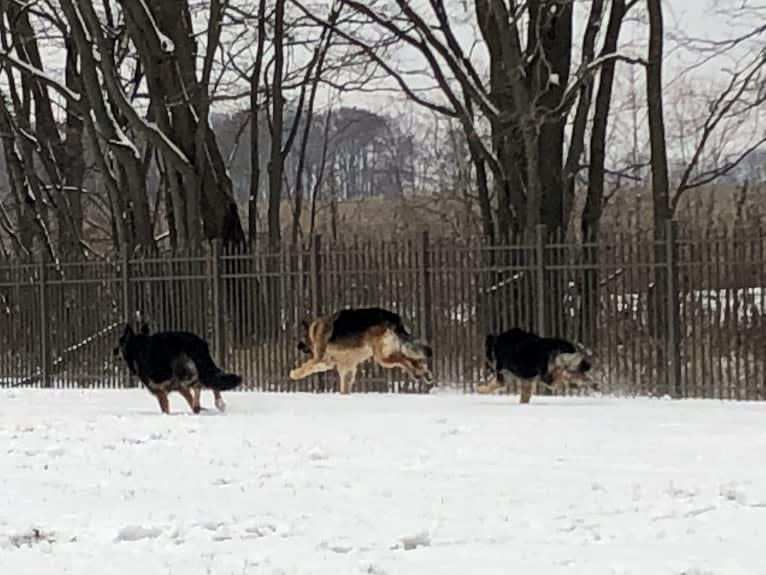 Photo of Kaila, a German Shepherd Dog  in USA